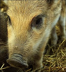 a little wild pig taken in Czech Republic.