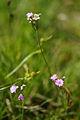Primula farinosa - Vitranc 6.jpg