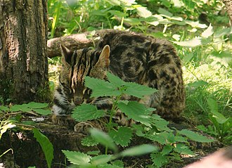 Leopard cat - Indian leopard cat (P. b. bengalensis)