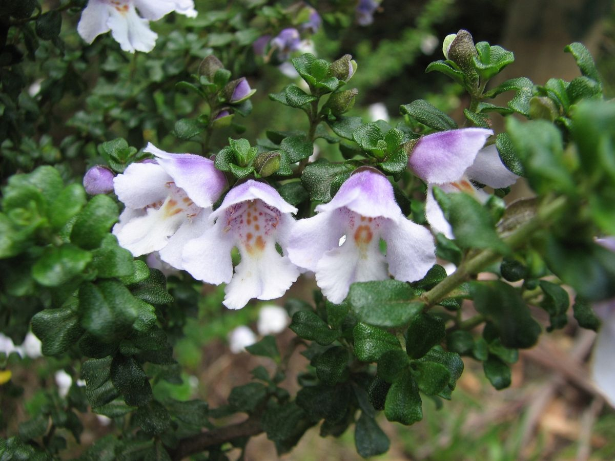 Prostanthera Cuneata Wikipedia