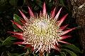 Protea cynaroides 5Dsr 8211.jpg