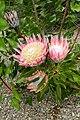 Protea cynaroides kz2.jpg