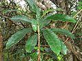 Protorhus longifolia, loof, Krantzkloof NR.jpg