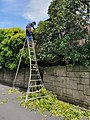 Pruner on ladder in Japan.jpeg