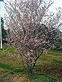 Prunus cerasifera var. atropurpurea Plant 2009Mach15 DehesaBoyaldePuertollano.jpg