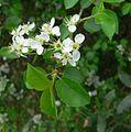 Prunus mahaleb St Meme 16.jpg