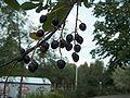 Prunus padus - Tuomi - Marjoja H9255 C.jpg