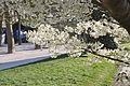Prunus speciosa in the Jardin des Plantes 005.JPG