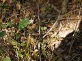 Pseuderanthemum malabaricum (6927646471).jpg