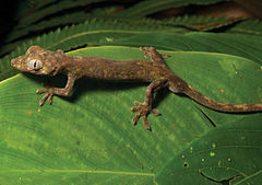Pseudogekko compressicorpus (KU 330058) from 850 m on Mt. Cagua - ZooKeys-266-001-g052.jpg