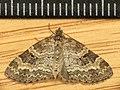 Pterapherapteryx sexalata (8864229204).jpg