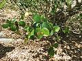 Pterocarpus santalinus 02.JPG