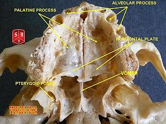Pterygoid fossa - Pterygoid fossa