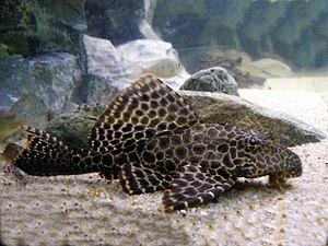 Pterygoplichthys gibbiceps1.jpg