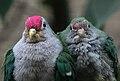 Ptilinopus pulchellus -Artis Zoo, Amsterdam, Netherlands -8a.jpg