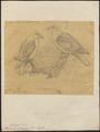 Ptilinopus spanzani - 1868 - Print - Iconographia Zoologica - Special Collections University of Amsterdam - UBA01 IZ15600091.tif