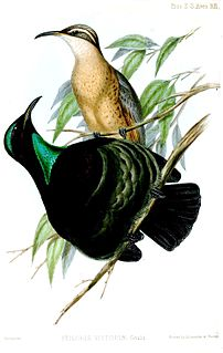<i>Ptiloris</i> Genus of birds