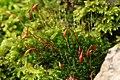 Ptychostomum capillare 106393483.jpg