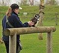 Pulsatrix perspicillata -Banham Zoo, Norfolk, England-8a.jpg