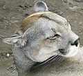 Puma concolor puma 3.JPG