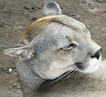 Australia barato cerebro  Puma concolor puma - Wikipedia, la enciclopedia libre