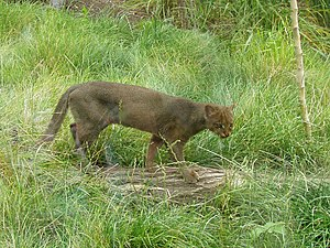 Jaguarundi - Gray color phase