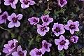 Purple Saxifrage - Saxifraga oppositifolia - panoramio (2).jpg