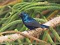 Purple Sunbird (Cinnyris asiaticus) (15707952559).jpg