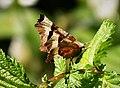 Purple Thorn. Selenia tetralunaria - Flickr - gailhampshire (2).jpg
