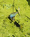 Purple gallinule and chick.JPG