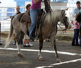 Quarter Pony American breed of horse