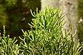 Quebradura (Euphorbia tirucalli) - Flickr - Alejandro Bayer (3).jpg