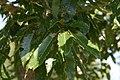 Quercus acutissima 10zz.jpg