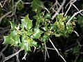 Quercus coccifera (15995208554).jpg