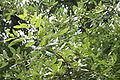 Quercus hispanica Lucombeana JPG1b.jpg