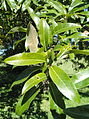 Quercus imbricaria - University of Kentucky Arboretum - DSC09363.JPG