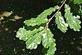 Quercus petraea in Christchurch Botanic Gardens 03.jpg