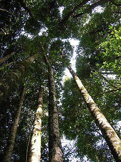 Maulino forest