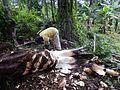 Récolte du vin de palme (Cameroun) (6).jpg