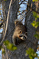 Raccoon (Procyon lotor) - Kitchener, Ontario 01.jpg