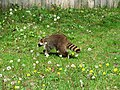 Raccoon - The Canadian Pest (4572036499).jpg