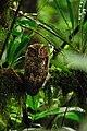 Rajah Scops Owl.jpg
