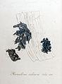 Ramalina calicaris — Flora Batava — Volume v9.jpg