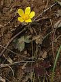 Ranunculus hispidus - Hispid Buttercup.jpg