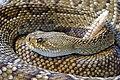 Rattlesnake rattling.jpg