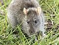 Rattus norvegicus - Brown rat 03.jpg