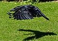 Raven 2a (7637975752).jpg