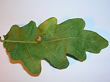 Red-Pea gall Cynips divisa on Oak.JPG