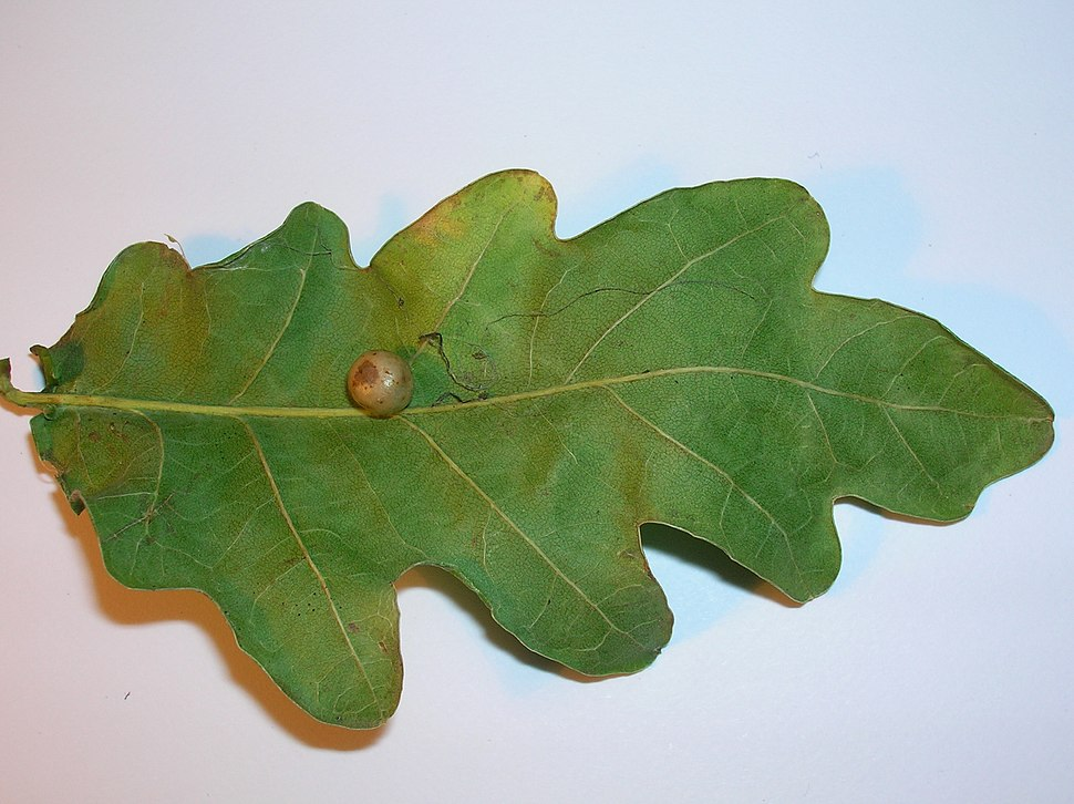 Red-Pea gall Cynips divisa on Oak