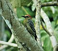 Red-crowned Woodpecker Melanerpes rubricapillus (41658053390).jpg